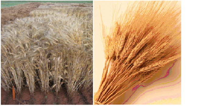 Wheat\Small Grains